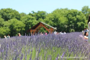Lavender by the Bay, Long Island