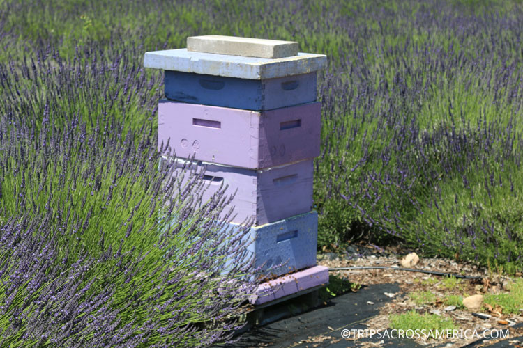 Lavender Honey from the Lavender by the Bay bees